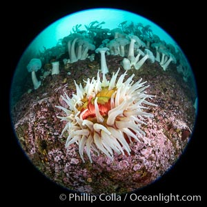 The Fish Eating Anemone Urticina piscivora, a large colorful anemone found on the rocky underwater reefs of Vancouver Island, British Columbia, Urticina piscivora, Metridium farcimen