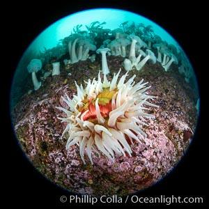 The Fish Eating Anemone Urticina piscivora, a large colorful anemone found on the rocky underwater reefs of Vancouver Island, British Columbia, Metridium farcimen, Urticina piscivora