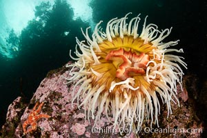 The Fish Eating Anemone Urticina piscivora, a large colorful anemone found on the rocky underwater reefs of Vancouver Island, British Columbia. British Columbia, Canada, Urticina piscivora, natural history stock photograph, photo id 35352