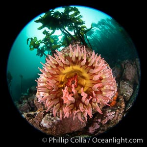 The Fish Eating Anemone Urticina piscivora, a large colorful anemone found on the rocky underwater reefs of Vancouver Island, British Columbia. British Columbia, Canada, Urticina piscivora, natural history stock photograph, photo id 35359