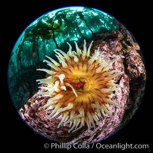 The Fish Eating Anemone Urticina piscivora, a large colorful anemone found on the rocky underwater reefs of Vancouver Island, British Columbia. Canada, Urticina piscivora, natural history stock photograph, photo id 35361