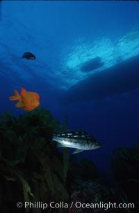 Garibaldi and kelp bass (calico bass), Hypsypops rubicundus, Guadalupe Island (Isla Guadalupe)