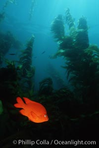 Garibaldi, kelp forest, Hypsypops rubicundus, San Clemente Island