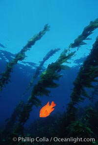 Garibaldi, kelp forest. San Clemente Island, California, USA, Hypsypops rubicundus, natural history stock photograph, photo id 05092