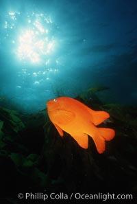 Garibaldi, Hypsypops rubicundus, San Clemente Island