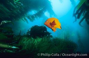 Garibaldi swimming over surfgrass in kelp forest, Hypsypops rubicundus, Phyllospadix, Macrocystis pyrifera, San Clemente Island