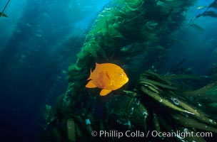 Garibaldi in kelp forest. San Clemente Island, California, USA, Hypsypops rubicundus, natural history stock photograph, photo id 06276