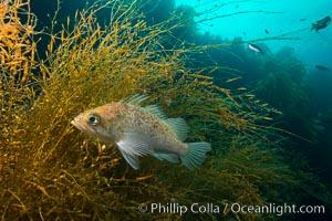 Fish hiding in invasive sargassum, Sargassum horneri, San Clemente Island, Sargassum horneri