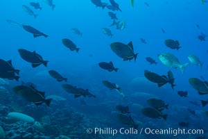 Fish schooling over coral reef, Clipperton Island. Clipperton Island, France, natural history stock photograph, photo id 33029