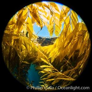 Fisheye view of a Giant Kelp Forest, Catalina Island