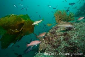 Fishies, Catalina, Catalina Island