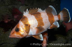 Flag rockfish., Sebastes rubrivinctus, natural history stock photograph, photo id 11786