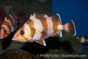 Flag rockfish., Sebastes rubrivinctus, natural history stock photograph, photo id 11789