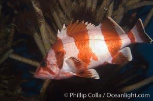 Flag rockfish, Sebastes rubrivinctus