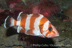 Flag rockfish., Sebastes rubrivinctus, natural history stock photograph, photo id 11784