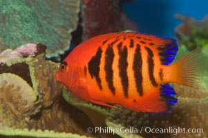 Flame angelfish., Centropyge loricula, natural history stock photograph, photo id 07859