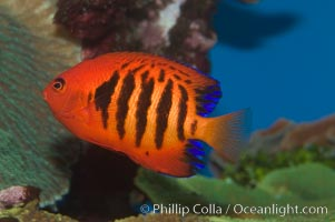 Flame angelfish., Centropyge loricula, natural history stock photograph, photo id 07857
