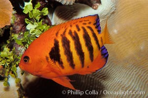 Flame angelfish., Centropyge loricula, natural history stock photograph, photo id 09450