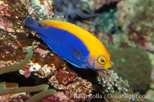 Flameback angelfish., Centropyge aurantonotus, natural history stock photograph, photo id 08656