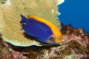 Flameback angelfish, Centropyge aurantonotus
