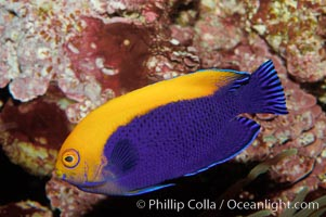 Flameback angelfish., Centropyge aurantonotus, natural history stock photograph, photo id 09447