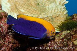 Flameback angelfish., Centropyge aurantonotus, natural history stock photograph, photo id 09449