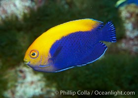 Flameback angelfish., Centropyge aurantonotus, natural history stock photograph, photo id 11791