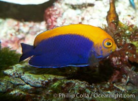 Flameback angelfish., Centropyge aurantonotus, natural history stock photograph, photo id 11792