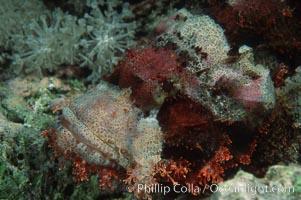 Flathead scorpionfish, Scorpaenopsis oxycephala, Egyptian Red Sea