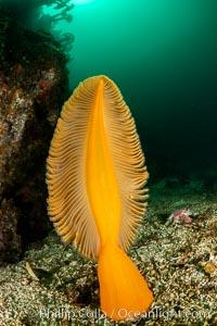Fleshy Sea Pen, Ptilosarcus gurneyi, Vancouver Island, Ptilosarcus gurneyi