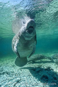 West Indian manatee. Three Sisters Springs, Crystal River, Florida, USA, Trichechus manatus, natural history stock photograph, photo id 02730