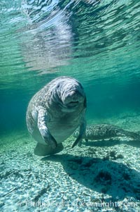 West Indian manatee. Three Sisters Springs, Crystal River, Florida, USA, Trichechus manatus, natural history stock photograph, photo id 02731