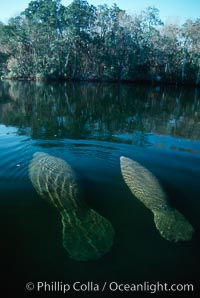 West Indian manatee, Homosassa State Park. Homosassa River, Homosassa, Florida, USA, Trichechus manatus, natural history stock photograph, photo id 02771