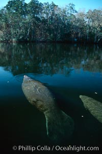 West Indian manatee, Homosassa State Park. Homosassa River, Florida, USA, Trichechus manatus, natural history stock photograph, photo id 02772