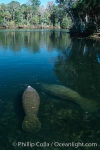 West Indian manatee, Homosassa State Park. Homosassa River, Florida, USA, Trichechus manatus, natural history stock photograph, photo id 02774