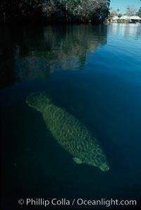 West Indian manatee, Homosassa State Park. Homosassa River, Homosassa, Florida, USA, Trichechus manatus, natural history stock photograph, photo id 02777