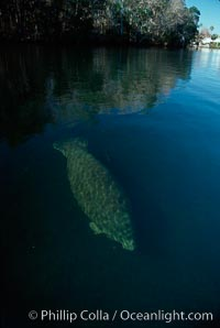 West Indian manatee, Homosassa State Park. Homosassa River, Florida, USA, Trichechus manatus, natural history stock photograph, photo id 02778