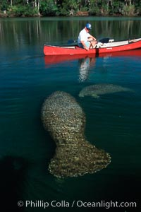 West Indian manatee and volunteer observer, Homosassa State Park. Homosassa River, Florida, USA, Trichechus manatus, natural history stock photograph, photo id 02779