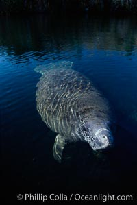 West Indian manatee, Homosassa State Park. Homosassa River, Homosassa, Florida, USA, Trichechus manatus, natural history stock photograph, photo id 02781