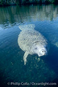 West Indian manatee, Homosassa State Park. Homosassa River, Homosassa, Florida, USA, Trichechus manatus, natural history stock photograph, photo id 02783