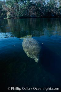 West Indian manatee, Homosassa State Park. Homosassa River, Homosassa, Florida, USA, Trichechus manatus, natural history stock photograph, photo id 02785