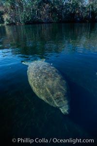 West Indian manatee, Homosassa State Park. Homosassa River, Homosassa, Florida, USA, Trichechus manatus, natural history stock photograph, photo id 02786