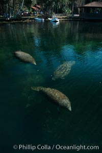 West Indian manatee, Homosassa State Park. Homosassa River, Homosassa, Florida, USA, Trichechus manatus, natural history stock photograph, photo id 02787