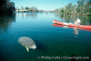 West Indian manatee and volunteer observer, Homosassa State Park, Trichechus manatus, Homosassa River
