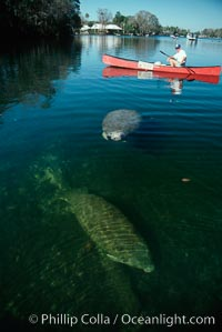West Indian manatee and volunteer observer, Homosassa State Park. Homosassa River, Homosassa, Florida, USA, Trichechus manatus, natural history stock photograph, photo id 02792