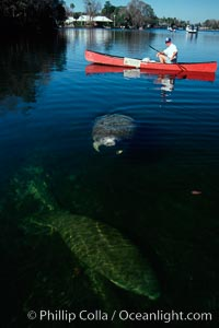 West Indian manatee and volunteer observer, Homosassa State Park. Homosassa River, Florida, USA, Trichechus manatus, natural history stock photograph, photo id 02793
