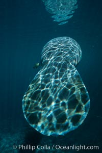 Broad flat tail of West Indian manatee, Trichechus manatus, Three Sisters Springs, Crystal River, Florida