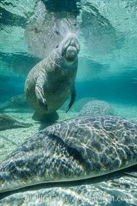 A Florida manatee surfaces to breathe, at Three Sisters Springs, Crystal River, Florida, Trichechus manatus