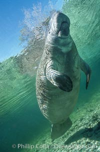 A Florida manatee surfaces to breathe, at Three Sisters Springs, Crystal River, Florida. USA, Trichechus manatus, natural history stock photograph, photo id 36337