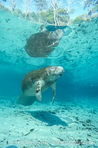 West Indian manatee at Three Sisters Springs, Florida. Crystal River, USA, Trichechus manatus, natural history stock photograph, photo id 02656